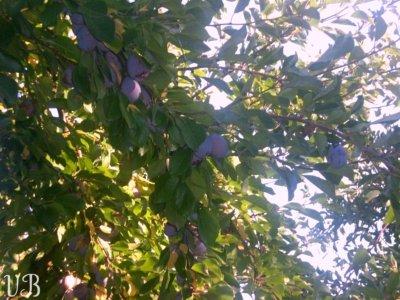 branche prunier petite