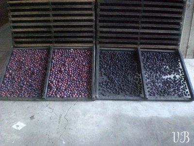 comparaison prune pruneau petite